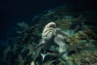 (05) 700 SHARKS © Laurent Ballesta.jpg
