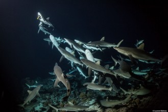 (08) 700 SHARKS © Laurent Ballesta.jpg